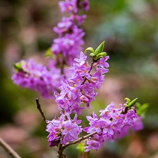flowering Daphne mezereum