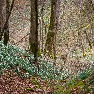 Leucojum vernum flowers in the forest