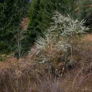 heavily lichen-loaded tree between hazel shrubs at the forest edge