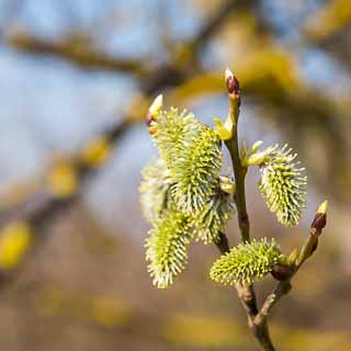 female willow catkins of the goat willow (Salix caprea)