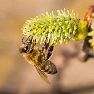 willow catkin (Salix caprea) with honey bee