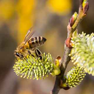 honey bee on female willow catkin (Salix caprea)