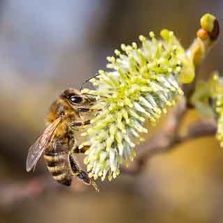 honey bee on a female willow catkin of the goat willow (Salix caprea)
