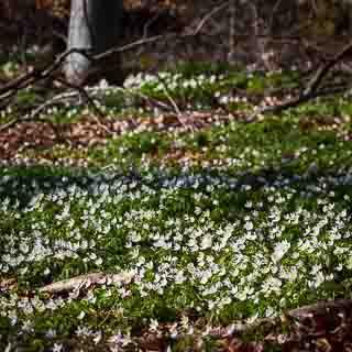 windflowers (Anemone nemorosa) in the spring forest (Schönbuch)