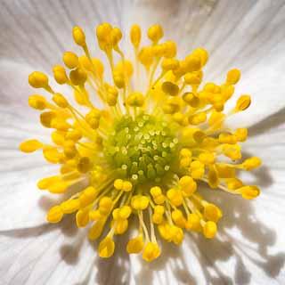 flower closeup / macro of Anemone nemorosa