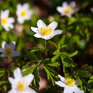 Flowering Anemone nemorosa (Wood anemone)