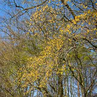 flowering hornbeam (Carpinus betulus) at the edge of the forest with blue sky