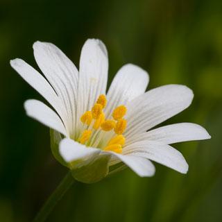 Stellaria holostea flower closeup