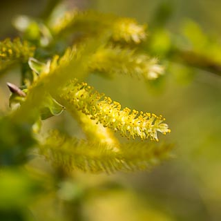 male willow catkins