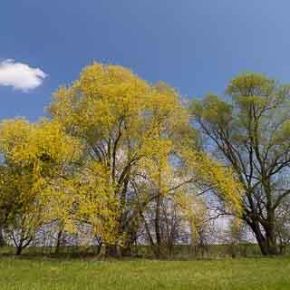 flowering willow trees