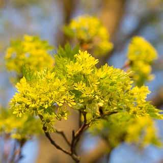 Acer platanoides blossom
