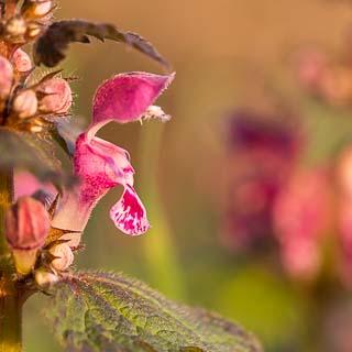Lamium maculatum flower