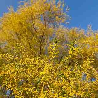 flowering willow tree
