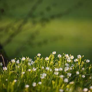 Stellaria holostea (addersmeat) flowers