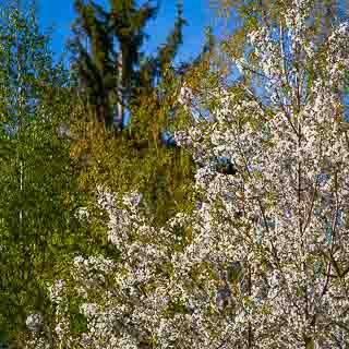 flowering wild cherry tree