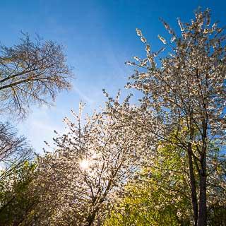 flowering wild cherry trees (Prunus avium) in the Schönbuch forest