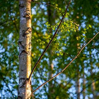 new birch leaves in the evening light with blurred background