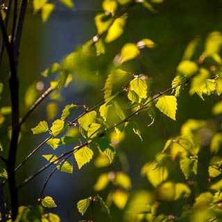 new birch leaves in the evening light