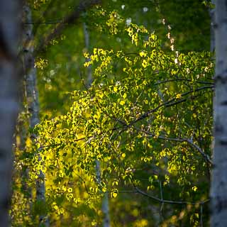 backlit new birch leaves in the spring forest