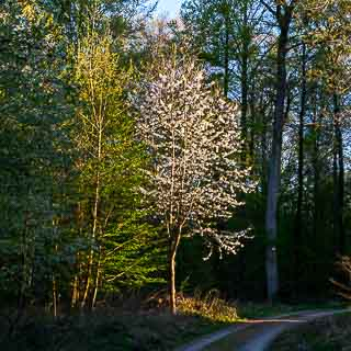 flowering wild cherry in the evening light