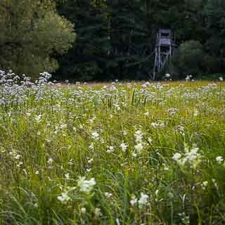 flowering Valerian (Valeriana officinalis, left) and meadowsweet on a meadow in the Schaichtal