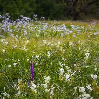 flowering purple loosestrife on a meadow in the Schaichtal