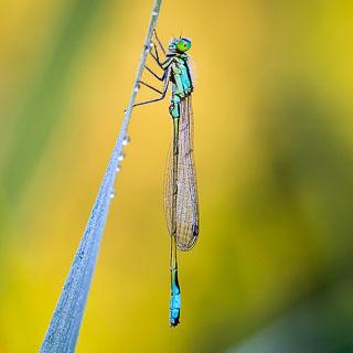 male Ischnura elegans (blue-tailed damselfly), macro in morning light