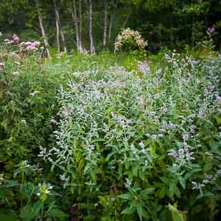 Mentha longifolia (horse mint) on a wet meadow in the Schaichtal