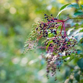 elderberries (Sambucus nigra)