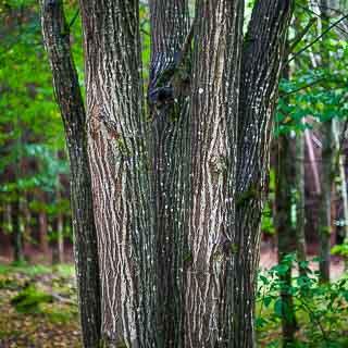 trunks of Salix caprea (goat willow)