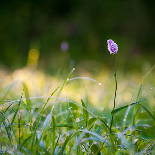 flowering bistort (Bistorta officinalis) on a meadow with morning dew