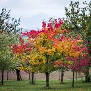 pear tree in fall colors on an orchard near Walddorf