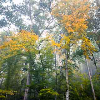 foggy common beech forest in autumn