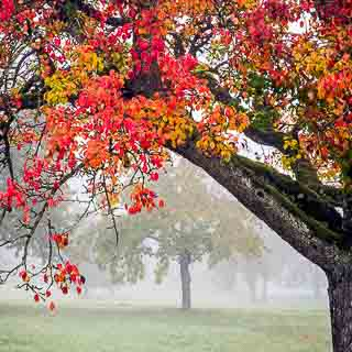 pear tree in red autumn colours in fog