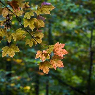 sycamore maple (Acer pseudoplatanus) leaves with backlight