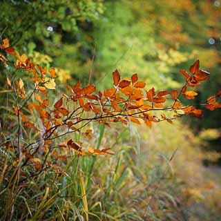 young common beech (Fagus sylvatica) in autumn