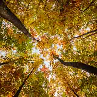 red oak forest in autumn