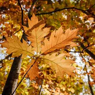 autumn leaves of a red oak