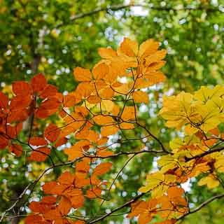 common beech autumn foliage