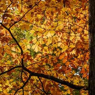 red oak foliage in autumn