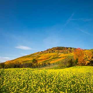 Hofbühl - vineyards near Metzingen in autumn with flowering mustard field and blue sky