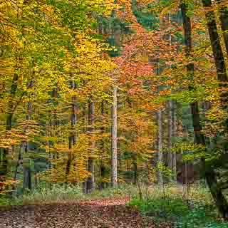 autumn forest in the Kirnbachtal (Schönbuch)