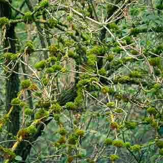 moss-covered elderberry branches