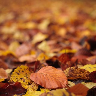 common beech leaf among the fallen autumn foliage on the ground