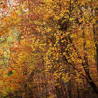 autumn foliage of common beech