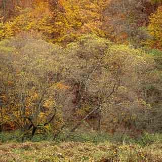 willows along the Schaich creek in autumn