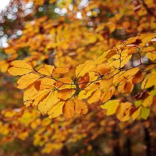 common beech branch in autumn (Fagus sylvatica)