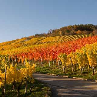vineyards in autumn at the Hofbühl near Metzingen-Neuhausen