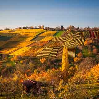 Metzingen vineyards in autumn
