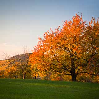 cherry tree in autumn near Dettingen/Erms